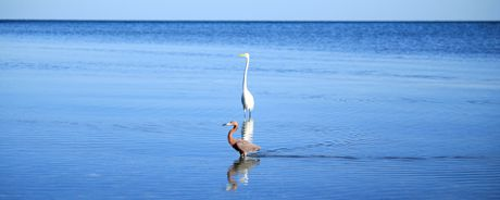 Great Egret and Little Red Egret